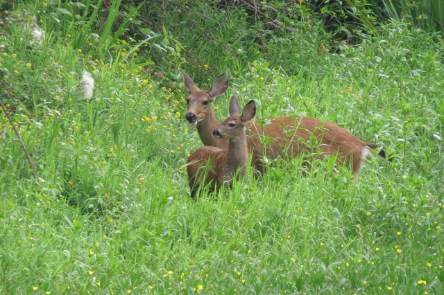 Black-tailed Deer and fawn