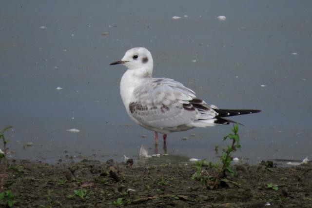 bonaparte's gull 1 small