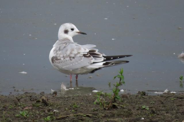 bonaparte's gull 2 small