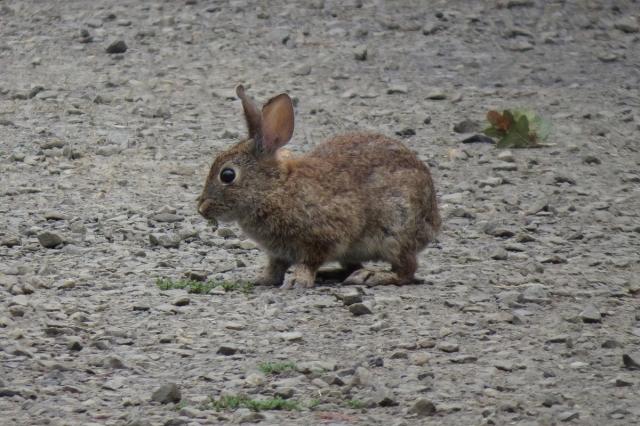 brush rabbit small