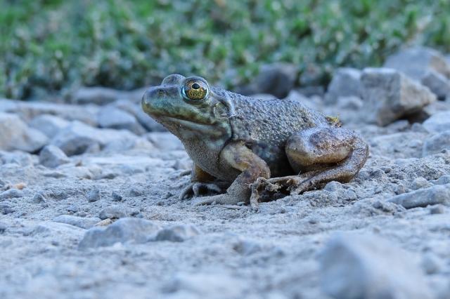 Bullfrog female small