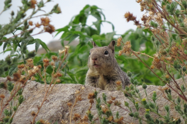 ground squirrel small