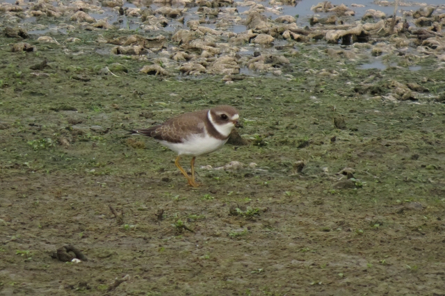 semipalmated plover small
